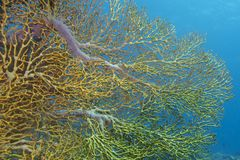 Golden Gorgon Coral Reef Exuberance off Padre Burgos, Leyte, Philippines Stock Photography