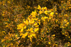 Golden Gorse Bush Stock Images