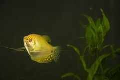 Golden Gourami. With whiskers extended in aquarium with background plant Royalty Free Stock Photography