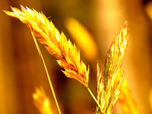 Golden grain. An ear of wild growing wheat in the evening sunlight stock images