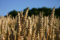 Golden grain. Closeup of grain in summer stock image