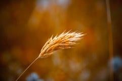 Golden Grain Stock Images