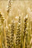 Golden grain Royalty Free Stock Images