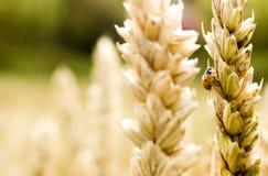 Free Golden Grain Stock Photos - 3518413