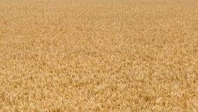 Golden grain Royalty Free Stock Photography