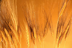 Golden grain. Warmth of golden summer grain Royalty Free Stock Photography