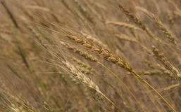 Free Golden Grain Royalty Free Stock Photography - 43311747