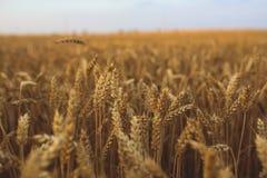 Golden grain Stock Photos