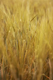 Golden grain Stock Photo