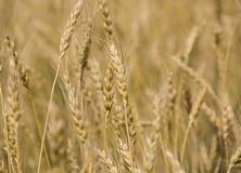 Golden grain. Close-up spikes in the grain field Stock Images