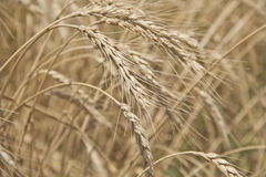 Golden grain Royalty Free Stock Photos