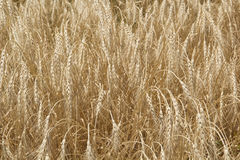 Golden grain Royalty Free Stock Image