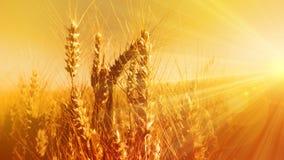 Golden grain ears in bright sunbeams Royalty Free Stock Photos
