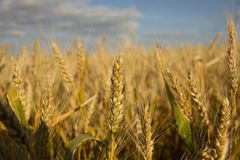 Golden grain ears Stock Image