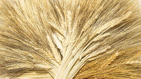 Golden grain ears royalty free stock photos
