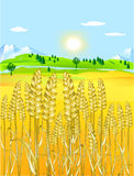 Golden grain-field Stock Image