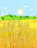 Golden grain-field. Ready for harvest Stock Image