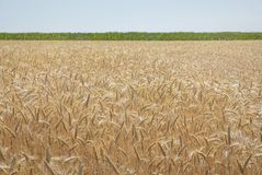 Golden grain field with green horizon and blue sky. Stock Images