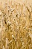 Golden grain Stock Photo
