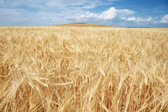 Golden Grain Field Stock Photo