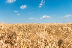 Golden grain field Royalty Free Stock Photography