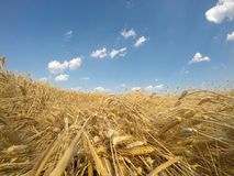 Golden grain field Stock Images