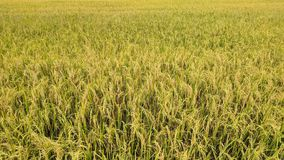 golden grain and golden rice in my farm stock images