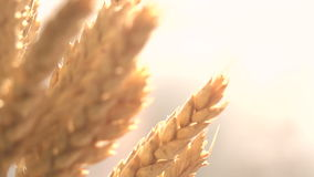 Golden Grain Harvest stock footage
