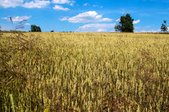 Golden grain harvest in the July sunshine Royalty Free Stock Photos