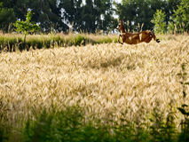 Golden grain harvest in the July sunshine Royalty Free Stock Photo