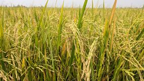Golden grain and golden rice stock images