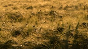 The golden grain is ripe for harvest royalty free stock images