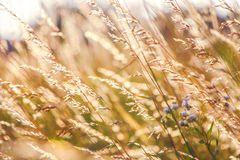 Golden Grain of Wild wheat on sunrise close up Royalty Free Stock Photo