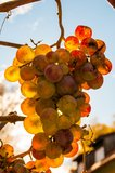 Golden grape Stock Photography