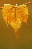 Golden grape leaf Royalty Free Stock Photography