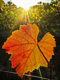 Golden grape leaf lit by sun rays in vineyard. Sunlight shining on golden grape leaf in vineyard royalty free stock photography