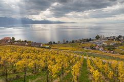 Vineyards and lake Leman 6. Golden grape vines. Beautiful view on the vineyards, Lavaux region, cloudy sky scape, part of Alps and lake Leman on the background royalty free stock photography