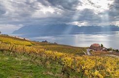 Vineyards and lake Leman 5. Golden grape vines. Beautiful view on the vineyards, Lavaux region, cloudy sky scape, part of Alps and lake Leman on the background Stock Image