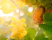Golden grapes Stock Photo