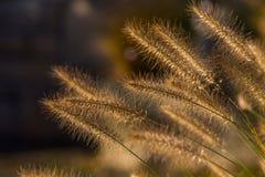 Golden gras stem Royalty Free Stock Photography