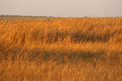 Golden Grass 01. A field of golden grass photographed in the setting african sun stock images