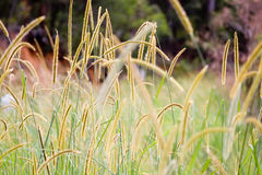 Golden Grass. Long golden grass with colourful blurred background Stock Image
