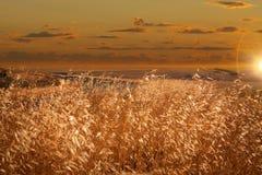 Golden grass Stock Images
