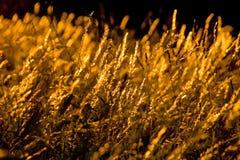 Golden grass Royalty Free Stock Photo