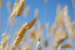 Golden grass against blue sky royalty free stock image