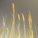 Golden grass Royalty Free Stock Image