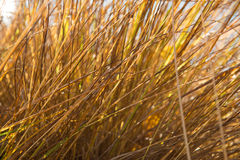 Golden grass Stock Images