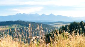 Golden grass blades and thistles on the meadow and the outline o stock photography