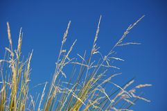 Golden Grass and Blue Sky Royalty Free Stock Images