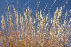 Golden Grass In blue sky. Royalty Free Stock Photo